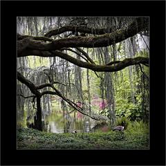 Le cèdre bleu pleureur de l'Atlas -4- (Jean-Louis DUMAS) Tags: cèdre arbre arboretum parc nature paysage landscape tree bois ciel forêt pelouse champ wood fleurs flower canard