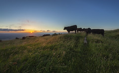 Cowlick (snomanda) Tags: field farmland livestock cows cattle pasture southdowns downs sussex anob landscape sunset dusk twilight wolstonbury hill sun sky uk england