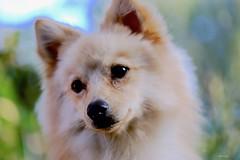 Je vous attends... regarde-moi, je suis triste ;))Obelix! (kiareimages1) Tags: spitznain volpino cani dogs chiens animali animal portrait macro photosmacro macrophoto