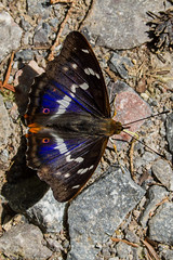 "Purple Emperor Butterfly (Apatura iris) ""Explore'd 28 June 2018"" (BiteYourBum.Com Photography) Tags: dawnandjim dawnjim biteyourbum biteyourbumcom copyright©2018biteyourbumcom copyright©biteyourbumcom allrightsreserved canoneos7d canonefs60mmf28macrousm canonmacrotwinlitemt26exrt sigma50500mmf4563dgoshsm canonef1740mmf4lusm apple imac5k lightroom6 ipadair appleipadair camranger zerenestacker focusstacking polaroidautofocusdgmacroextensiontubes manfrotto055cxpro3tripod manfrotto804rc2pantilthead loweproprorunner350aw uk unitedkingdom gb greatbritain england surrey butterflyconservationsurreysouthwestlondonbranch surreyandsouthlondonbutterflyconservationtrust chiddingfold chiddingfoldforest oakenwood oakenwoodbutterflyreserve purpleemperor butterfly apatura iris purpleemperorbutterfly apaturairis explored28june2018 flickrexplore28june2018 flickr explore explored flickrexplore"