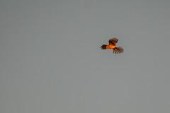 Kestrel - in the last of the evening light (Gareth Keevil) Tags: bird birds eveningsun garethkeevil humber humberhead june kes kestrel nikon nikon500mm nikond500 oakhillnaturereserve rspb reedbed summer sunny sunset sunshine telephoto uk wild yorkshire