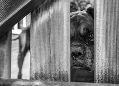Old Boxer (Fred H, H. Heitmann) Tags: schwarzweis animal fujifilmxt2 pascha blackwhite fhh1962 boxer dog cane tier monochrom tangstedt flickr hund xf16mmf14rwr ©fredheitmann