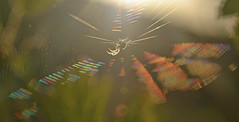 spider and sunshine (conall..) Tags: closeup raynox dcr250 macro refraction colour scatter light wavelength dependent bands silk web spider