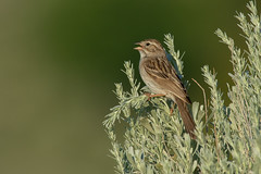 Clarke_180622_2737.jpg (www.raincoastphoto.com) Tags: birds birdsofcanada birdsofbritishcolumbia brewerssparrow birdsofnorthamerica sparrows spizellabreweri
