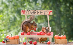 red squirrels with tomatoes in a market stand (Geert Weggen) Tags: agriculturalfair autumn outdoors smallbusiness animalwildlife animalsinthewild basket business businessfinanceandindustry cardboard day dinner dirt eating eurasianredsquirrel farmersmarket food freshness fruit grass healthylifestyle homegrownproduce horizontal market marketstall meal metal nopeople old photography picnic picnicbasket pricetag selling squirrel summer sweden table transportation wheel wheelbarrow woodland working eat sale pumpkin bispgården jämtland geert weggen ragunda hardeko