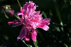 Peony (rachelvane-stobbs) Tags: peony plant garden canon60d 60d cottagegarden shrewsbury shropshire
