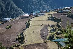 Fields and houses in the village of Laya - Gasa District - Snowman Trek - Bhutan (PascalBo) Tags: nikon d500 asie asia southasia asiedusud drukyul drukgyalkhap bhutan bhoutan འབྲུག་ཡུལ། འབྲུག་རྒྱལ་ཁབ་ snowman trek trekking hike hiking lunana gasa himalaya himalayas jigmedorjinationalpark laya agriculture outdoor outdoors pascalboegli