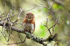 Northern Pygmy owl (Thy Photography) Tags: northernpygmyowl birdofprey prey owl raptor wildlife animal nature outdoor backyard california bird