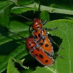 Red Milkweed Beetles mating thumbnail