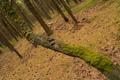 Tree (Rafał Banach) Tags: pl poland polska sonya7riii sonyfe24105mmf40 sonyilce7rmiii forest trees dźwiżyno sonyilce7rm3 tree wood