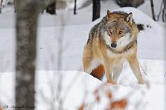 Lupo _018 (Rolando CRINITI) Tags: lupo mammiferi bayerischerwaldnationalpark germania natura libertàcontrollata