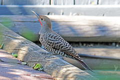 Northern Flicker 18-0714-7249 (digitalmarbles) Tags: northernflicker colaptesauratus flicker woodpecker piciformes picidae wood nature wildlife animal bird birder birdphoto birdphotography wildlifephotography burnabybc bc lowermainland britishcolumbia canada canoneosrebelt7i canon
