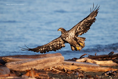 Take Off (namra38) Tags: eagle juvenile armanwerthphotography baldeagle wildlife birdofprey takeoff sanjuanisland