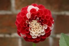 Red & White (pbiggs42) Tags: dahlia flower red white erddig