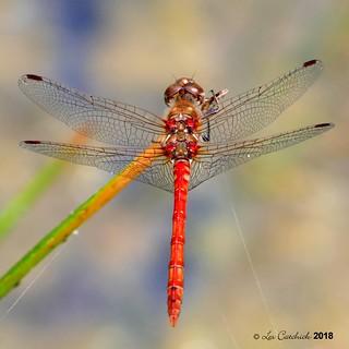 Ruddy darter - male