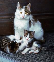 The Swiss kitten's family (BudCat14/Ross) Tags: cats kittens switzerlandcritterseurope fabuleuse