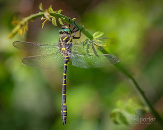 Golden Ringed Dragonfly