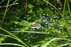 623 - Bastia au bord de la lagune (paspog) Tags: bastia corse corsica france lagune mai may 2018 grenouille frog