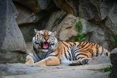 sibirischer Tiger (sigridspringer) Tags: natur tiere säugetiere raubtiere raubkatzen sibirische tiger tierpark berlinfriedrichsfelde