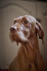 puppies  15-07-18 2 (Speedymax) Tags: hungarianvizsla hungarianviszla dog puppy puppies