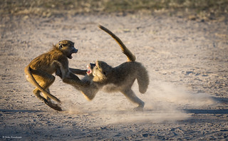 Baboons in action