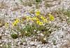 Rock Rose - Helianthemum nummularium - Gelbes Sonnenröschen (steffi's) Tags: montemartano montimartani umbria umbrien italiy italia italien