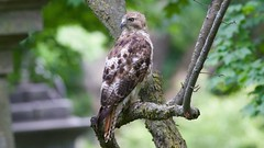 red-tailed hawk (immature) (quadceratops) Tags: massachusetts nature cambridge watertown mount auburn cemetery red tailed hawk redtail