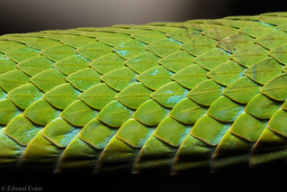 March's palm pit viper (Bothriechis marchi)