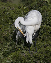 Great Egret preening (Mawrter) Tags: greategret greg egret preen preening plume plumes plumage white green foliage avian bird birding onebird oneanimal feather feathers nature wild wildlife outdoor outdoors outside morning oceancity newjersey nj canon specanimal