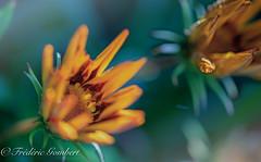 details of Spring (frederic.gombert) Tags: flower orange green details macro bloom summer spring light sun sunlight color colors blossom nikon