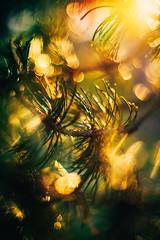 #227 - Pine tree / Borovice (photo.by.DK) Tags: konica konicahexanonar konicahexanonar5714 konicahaxanon konicahexanonar57 konica57 hexanon konicaar 57mm 57mmprime oldlens legacylens manuallens vintage vintagelens manualfocus manual manualondigital bokeh bokehlicious bokehful sonya7 sonyilce sony sonyalpha sonya7ii shotwideopen wideopen wideopenbokeh lensflare flare depthoffield artbydk photobydk pinetree