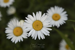 June Daisy (CalTek Design) Tags: floweres daisy daisies weeds flower petals white yellow green outdoors landscape ontario canada
