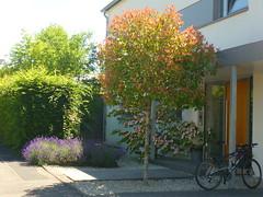 Vorgarten Heiligkreuz (Jörg Paul Kaspari) Tags: trier heiligkreuz vorgarten photinia lavandula cornus