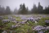 Fleurs et flous (Samuel Raison) Tags: fleurs fleursdemontagne flowers nature natural naturaleza naturaldigital digitalnaturel nikon nikond3 nikon1435mmafsg dof bokeh