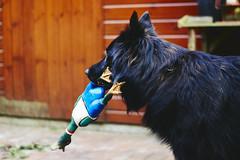 Totoro (Jos Mecklenfeld) Tags: totoro dutchshepherd dutchshepherddog hollandseherder hollandseherdershond shepherd shepherddog herder holländischerschäferhund dog hund hond sonya6000 sonyilce6000 minoltamd50mmf20 minoltamd minoltamdlens minolta terapel groningen netherlands nl