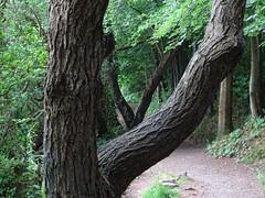 Pathside forks (Phil Gayton) Tags: tree path trail foliage leaf bark riverside walk totnes devon uk