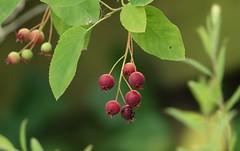 Fruit for birds (eric zijn fotoos) Tags: holland macro garden tuin bessen bes berry berries sonyrx10m3 nederland noordholland leaf blad tree boom red rood