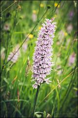 Common spotted orchid (G. Postlethwaite esq.) Tags: dof derbyshire ecclesbournerailway highpeakjunction leawoodpumphouse macro beyondbokeh bokeh commonspottedorchid depthoffield flower fullframe photoborder selectivefocus