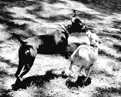 Running Kiss (RasMarley) Tags: dogs dog park black white monroe new jersey photography photographer animals playing canine canines kiss kissing bw greatdane pitbull minpin