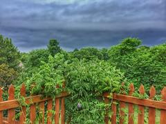 Evening summer storm brewing (Pejasar) Tags: summerstorm clouds trees green flower miniaturewisteria neighborhood fence corner garden myyard