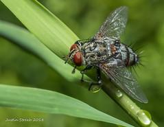 Flesh Fly 2 (strjustin) Tags: fleshfly fly raindrops waterdrops macro grass insect bug