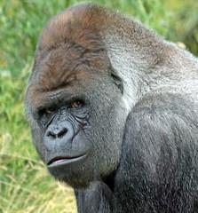 western lowlandgorilla Bokito Blijdorp JN6A9309 (j.a.kok) Tags: gorilla westelijkelaaglandgorilla westernlowlandgorilla animal africa afrika aap ape blijdorp mammal zoogdier dier monkey mensaap primate primaat bokito