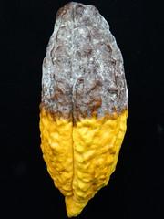 Cacao (Theobroma cacao): Black pod rot (Plant pests and diseases) Tags: cacao pod black rot theobroma phytophthora palmivora mycelium mycelia white sporangia