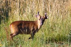 Muntjac Deer (Unintended_Keith) Tags: muntjacdeer barkingdeer male wild nature lavellslake naturereserve mammal myfirst canon1dx sigma150600mms
