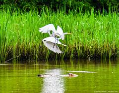 2018.06.23.0031 Egret Dance (Brunswick Forge) Tags: 2018 grouped bird birds outdoor outdoors animal animals wildlife nature nikond500 tamron150600mm animalportraits favorited commented