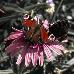 🌸 (cнαт-ɴoιr^^) Tags: 20180701imgp0203 occupied garten garden schmetterling butterfly papillon farfalla vlinder motyl бабочка tagpfauenauge lepidoptera aglaisio sonnenhut echinacea