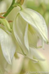 Yucca (Chantal van Breugel) Tags: 2018 bloemen macro planten yucca eigentuin espel noordoostpolder flevoland juni canon5dmark111 canon100mm