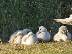 Cygnets (Deanne Wildsmith) Tags: cygnet swan bird staffordshire bartonmarina earthnaturelife