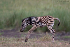 Pure joy (leendert3) Tags: select leonmolenaar southafrica krugernationalpark wildlife nature mammals burchellszebra coth coth5 ngc npc naturethroughthelens