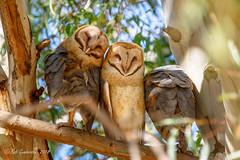 Barn Owls (Bob Gunderson) Tags: barnowl birds california marincounty mcinnispark northbay northerncalifornia owls tytoalba